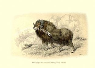 Musk Ox (Ovibos moschatus) Native of North America
